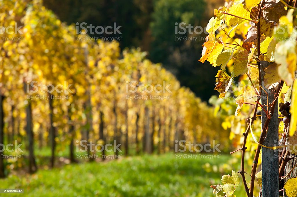 Vineyard - Autumn stock photo