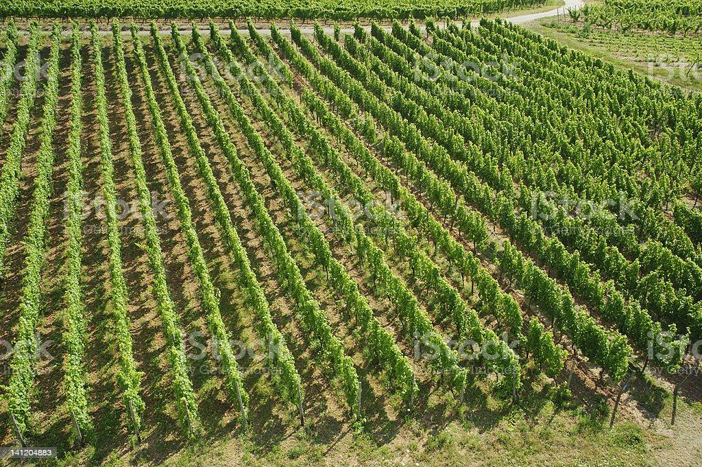 vineyard background in summer,europe. royalty-free stock photo