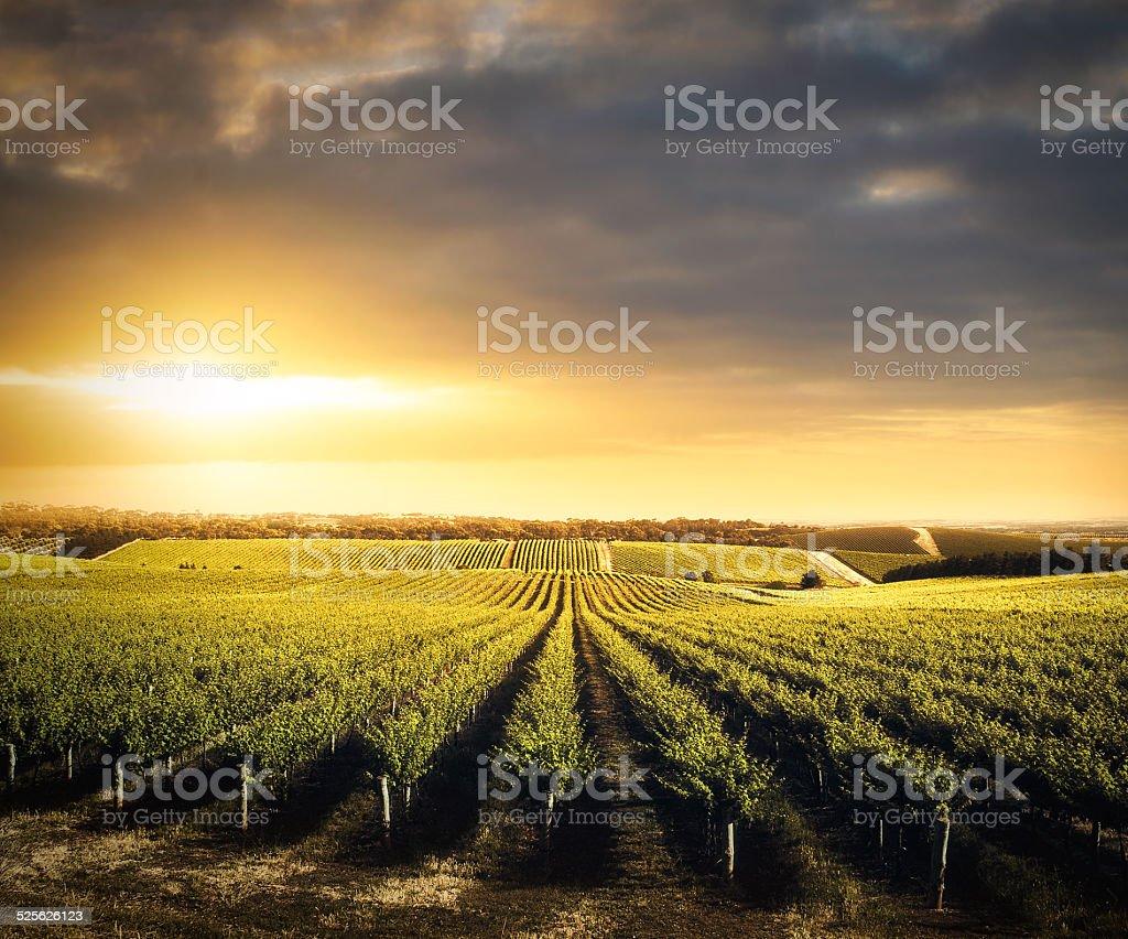 Vineyard Beauty stock photo