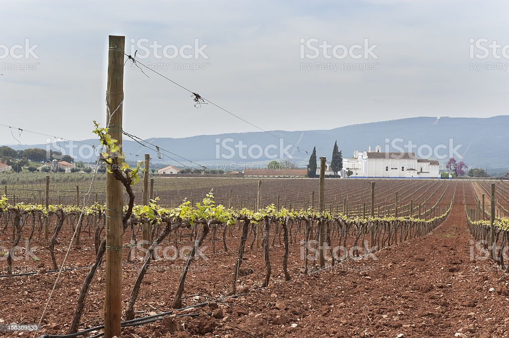 Vineyard bud break royalty-free stock photo