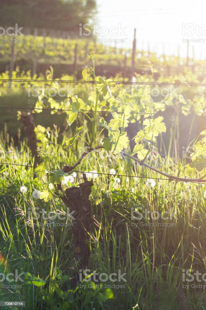 Vineyard. Bushes of grapes in the evening sun stock photo
