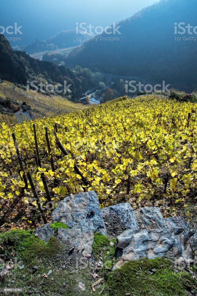 Vineyard by Altenahr stock photo