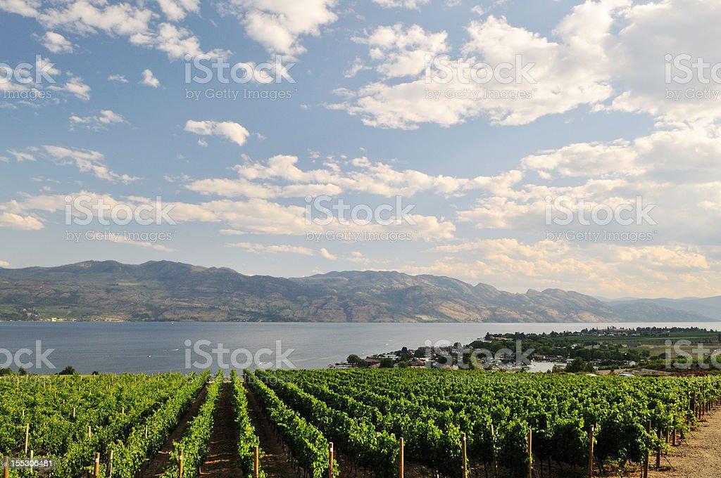 vineyard by Okanagan Lake near Kelowna royalty-free stock photo