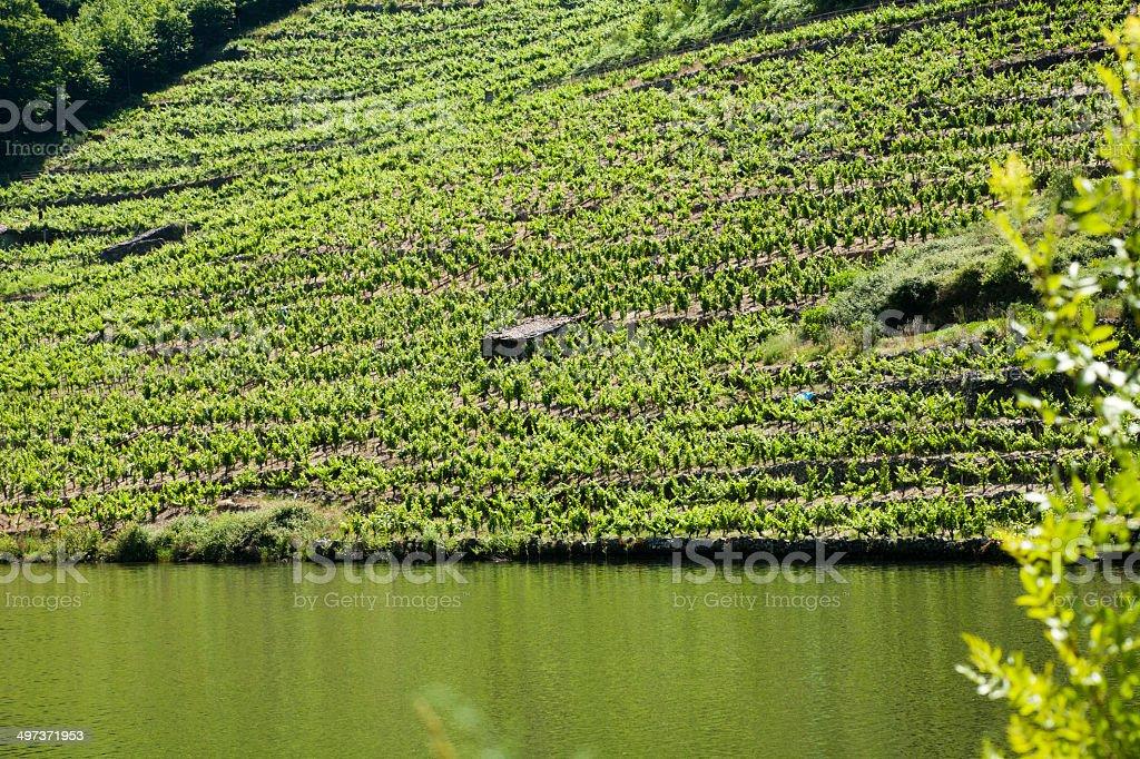 Vineyard by river Mi?o royalty-free stock photo