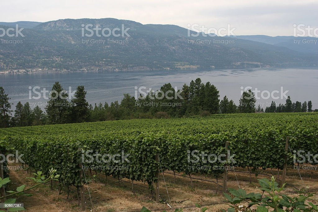 Vineyard by the Lake royalty-free stock photo