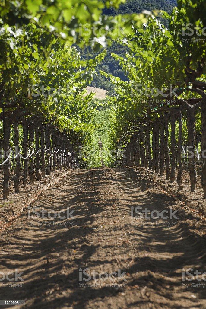 Vineyard Canopy royalty-free stock photo