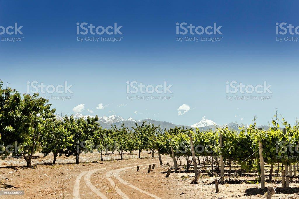 Vineyard, cherry trees and mountain stock photo