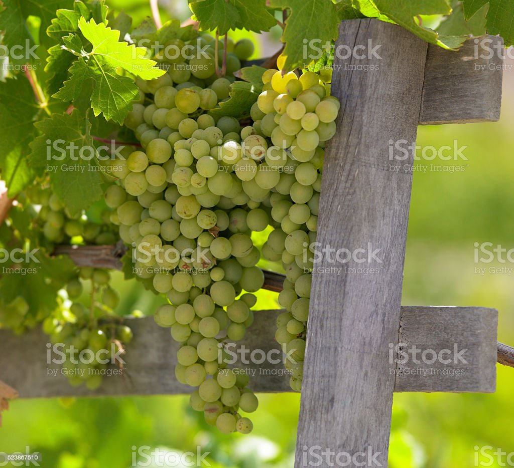 Vineyard - Chile stock photo