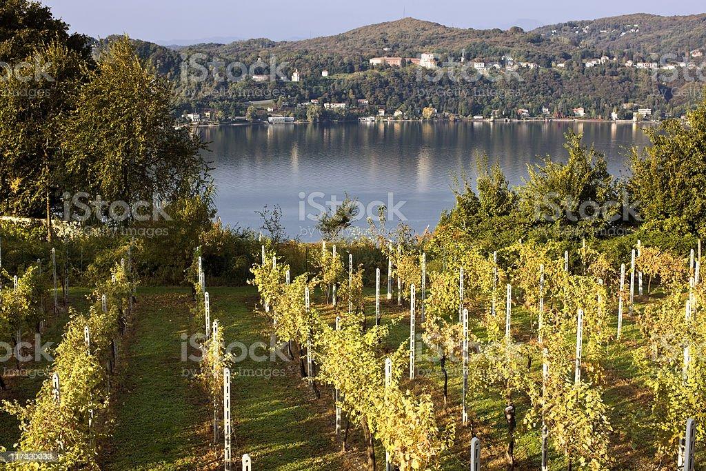 Vineyard. Color Image royalty-free stock photo