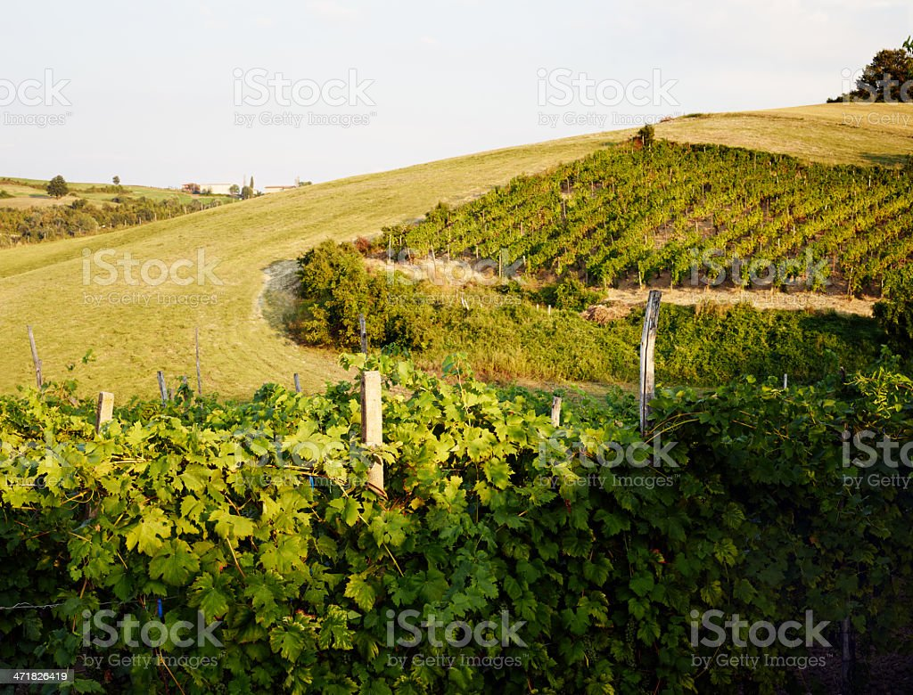 Vineyard. Color Image royalty-free stock photo