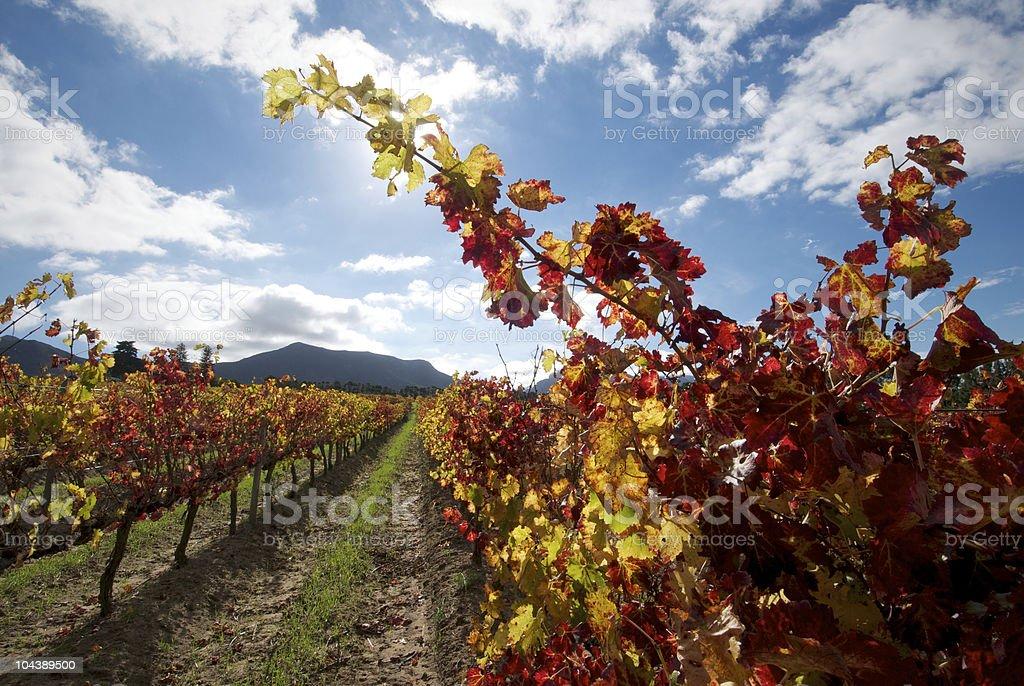 Vineyard Color Rows stock photo