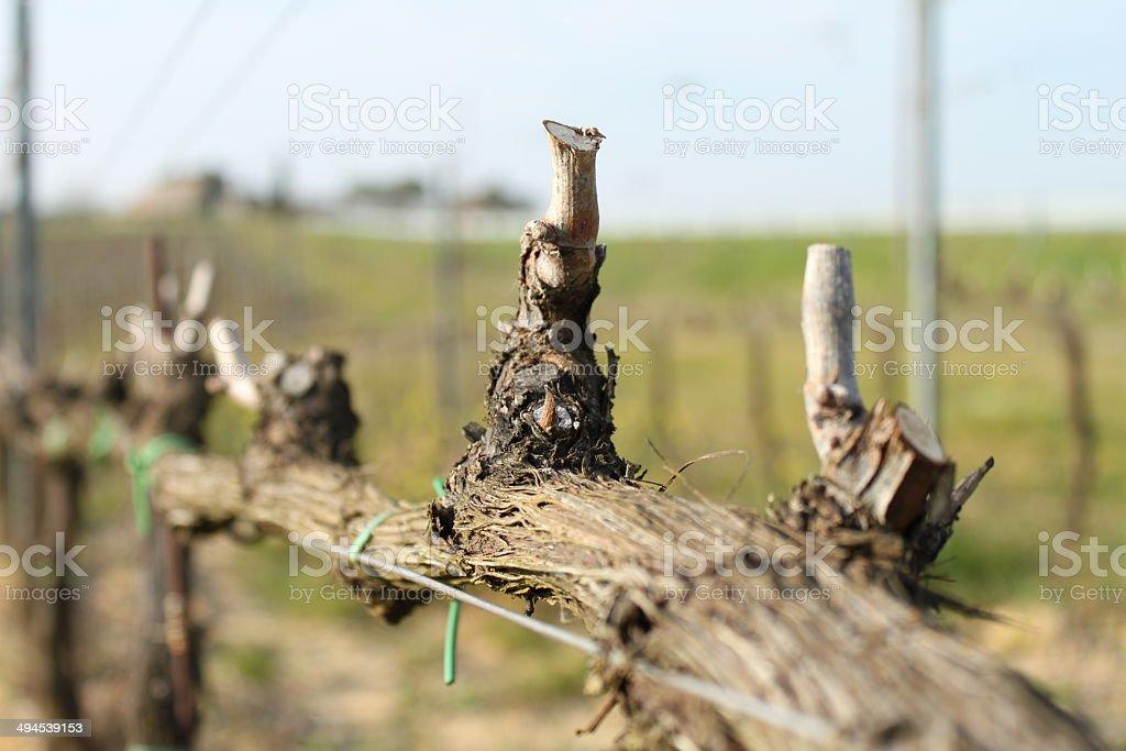 Vineyard detail royalty-free stock photo