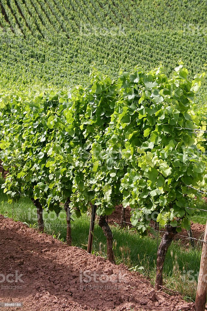 Vineyard Detail royalty-free stock photo