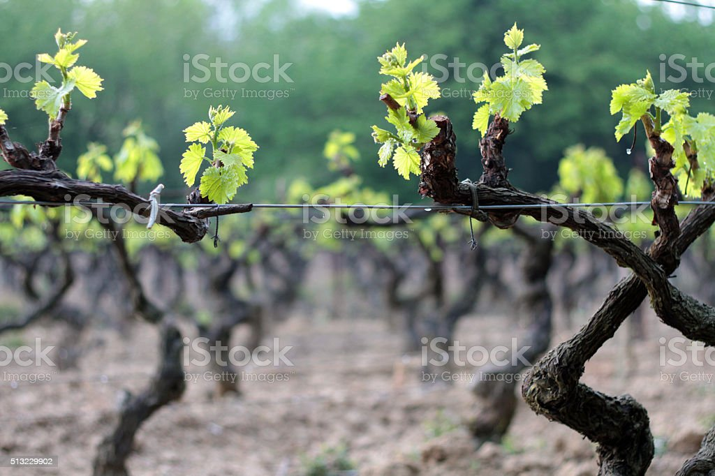 Vineyard during springtime in Provence, France stock photo