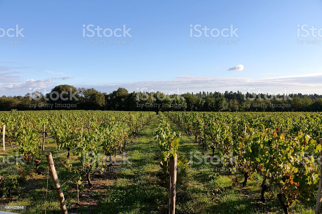 Vineyard during the harvest in autumn stock photo