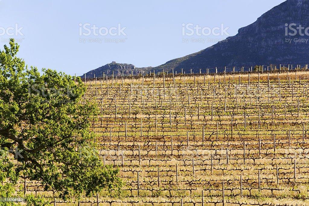 Vineyard early in the season stock photo