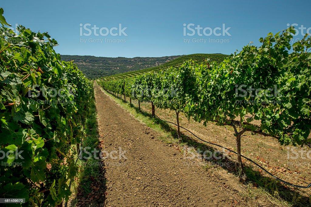 Vineyard, Eastern Napa County, California stock photo