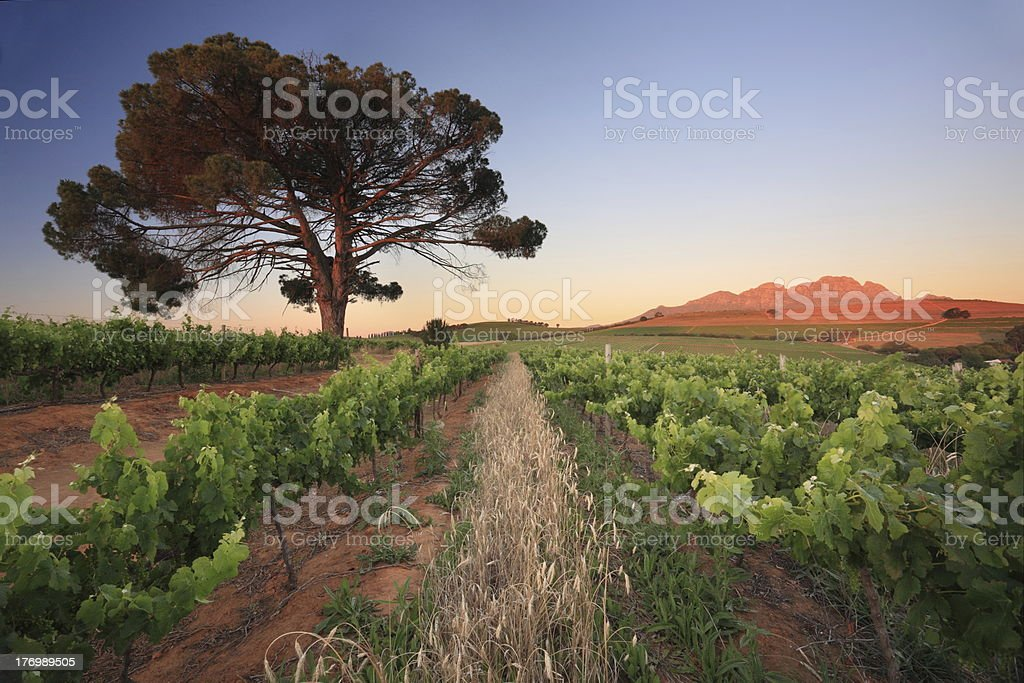 Vineyard evening with lone tree stock photo