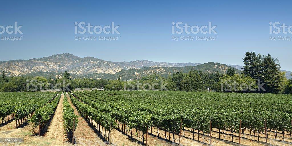 Vineyard fields stock photo