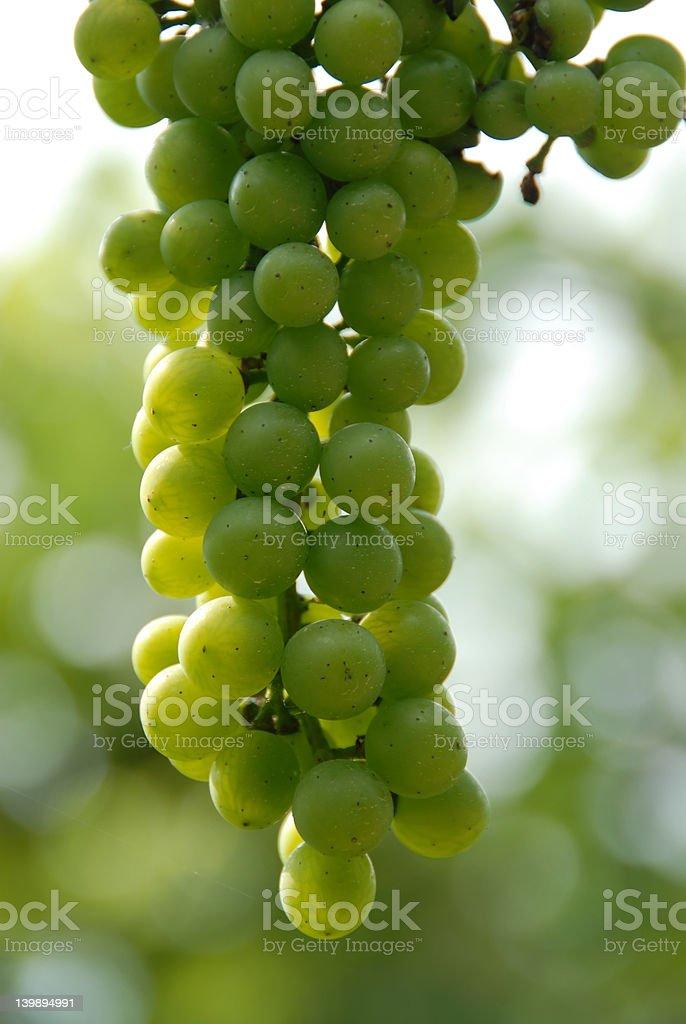 Vineyard Grapes royalty-free stock photo