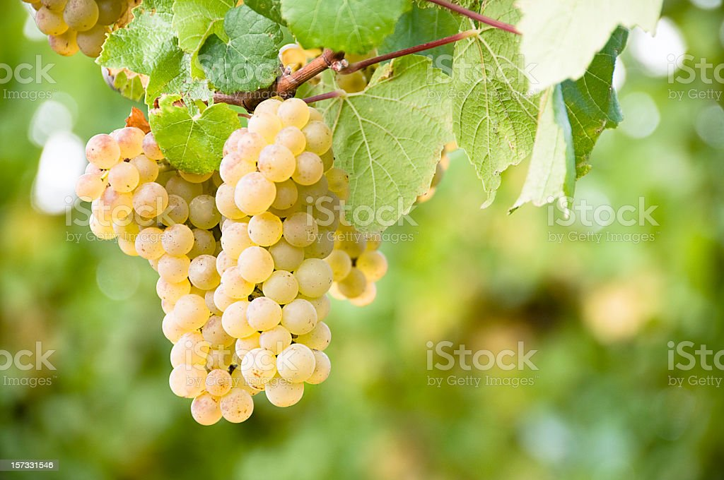 Vineyard Grapes royalty-free stock photo