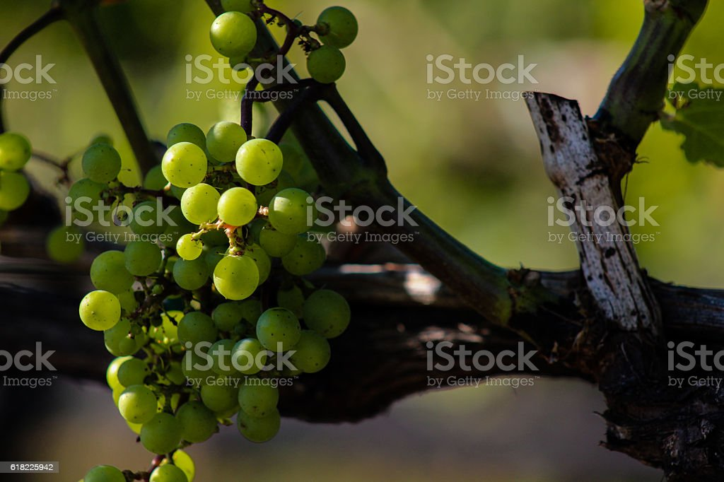 Vineyard Grapes - Side Lighting Close up stock photo