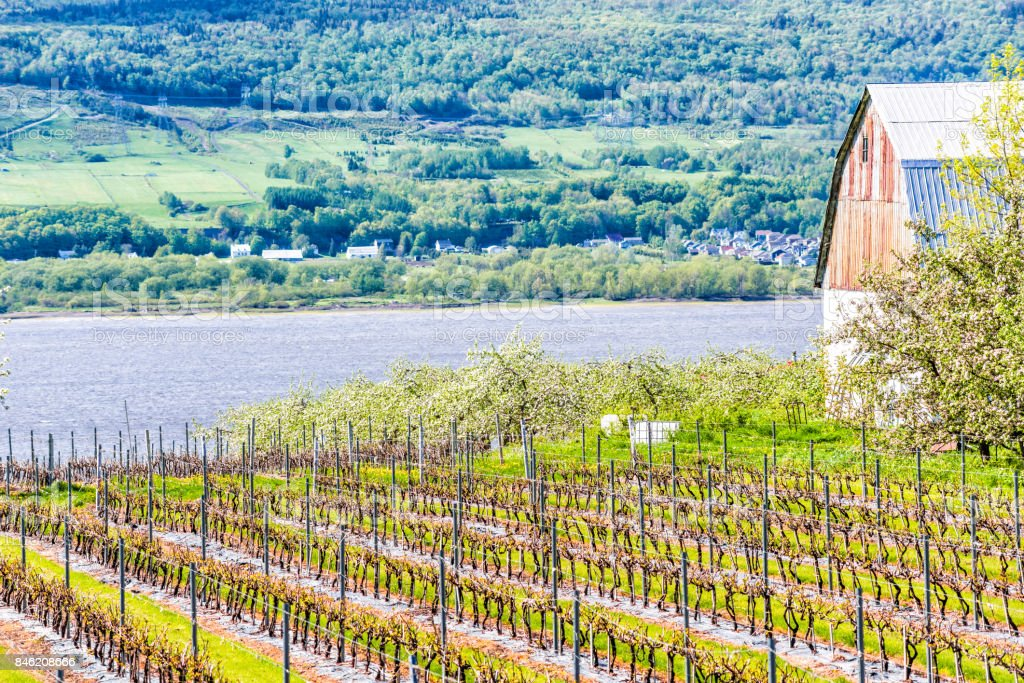 Vineyard grapevine rows by winery during summer in Ile D'Orleans, Quebec, Canada with view of Saint Lawrence River and house, shed, or barn with hills, mountains and villages stock photo