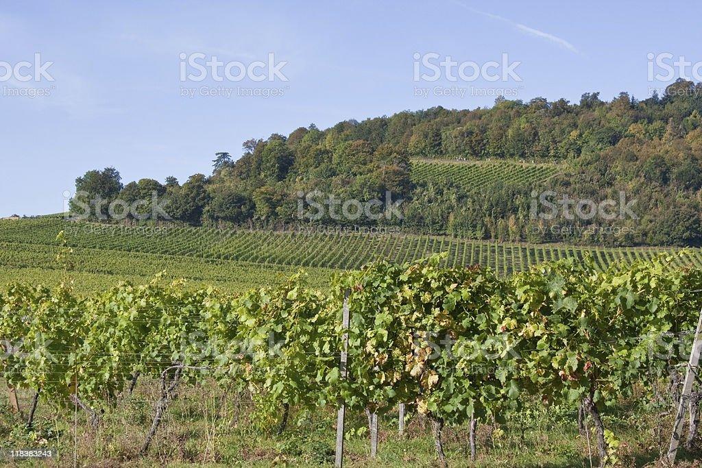 Vineyard Hill stock photo