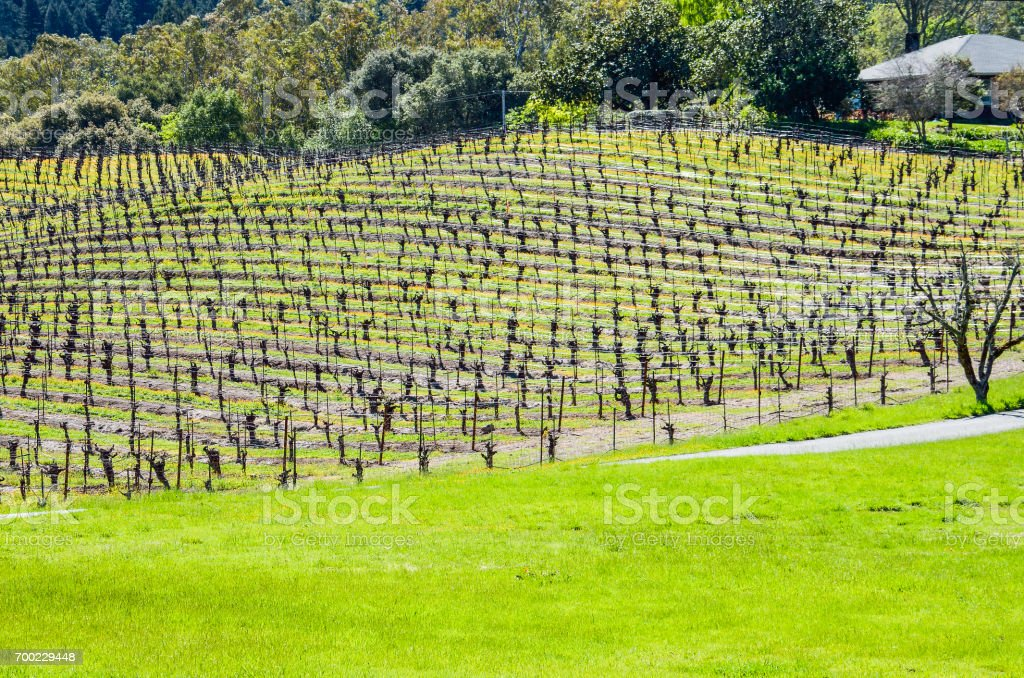 Vineyard hill with rows of grape vines and mountains in Napa Valley, California stock photo