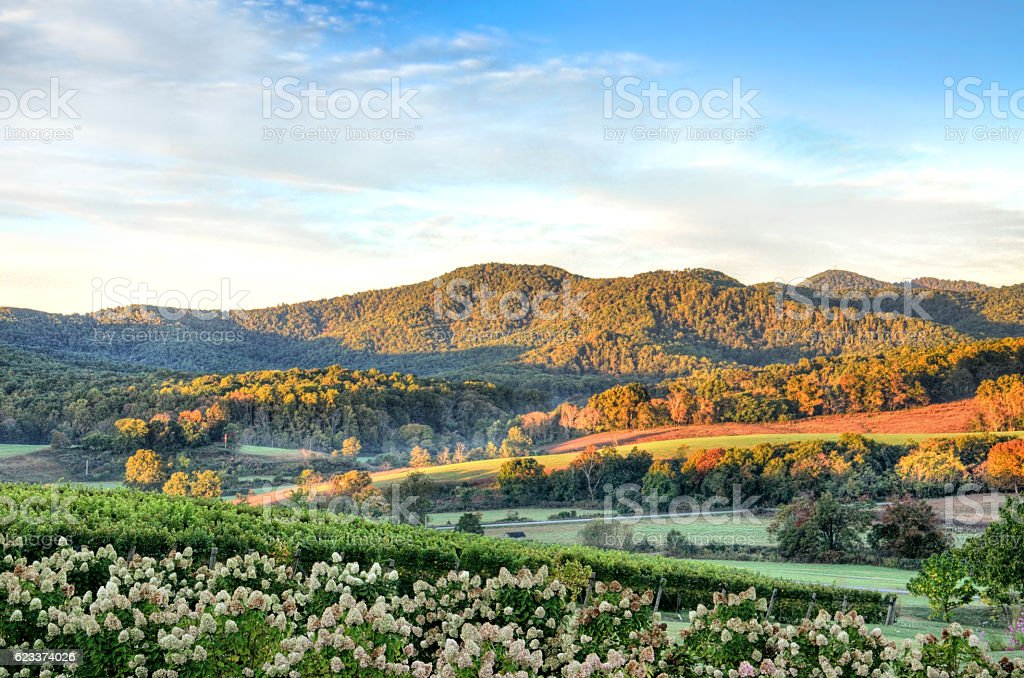 Vineyard hills and flowers during sunset in Virginia stock photo
