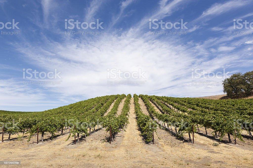 Vineyard Hillside stock photo