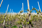 Vineyard in a countryside on the Moselle river