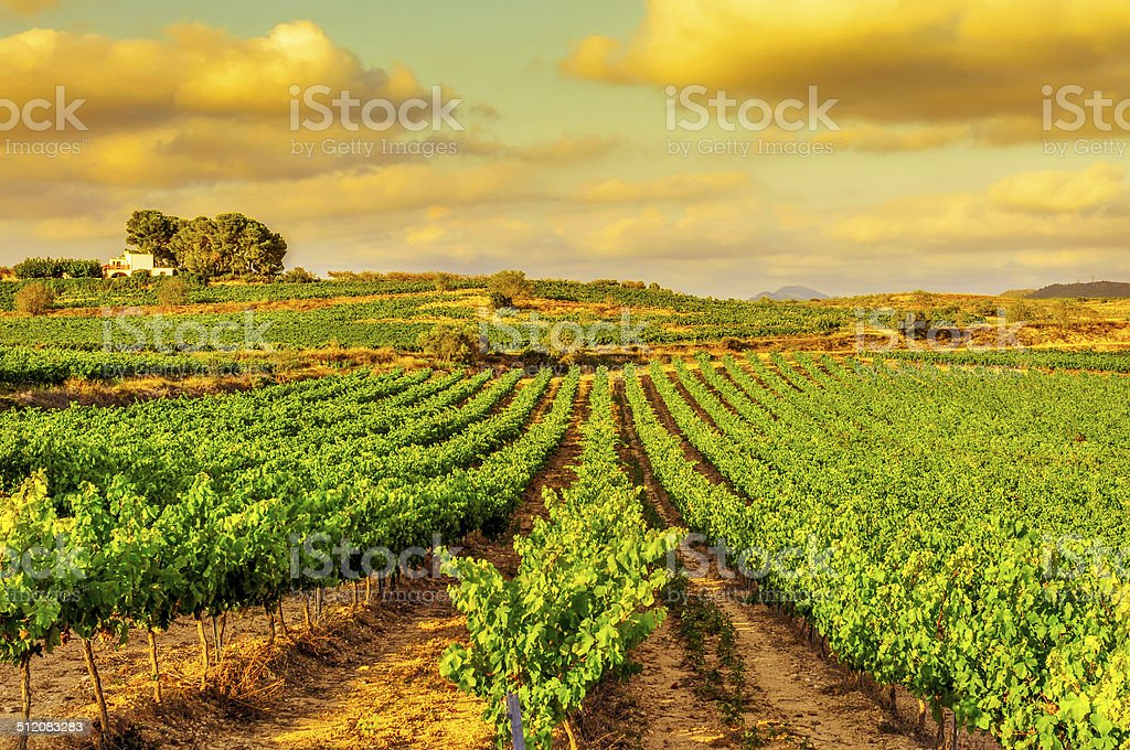 vineyard in a mediterranean country at sunset stock photo