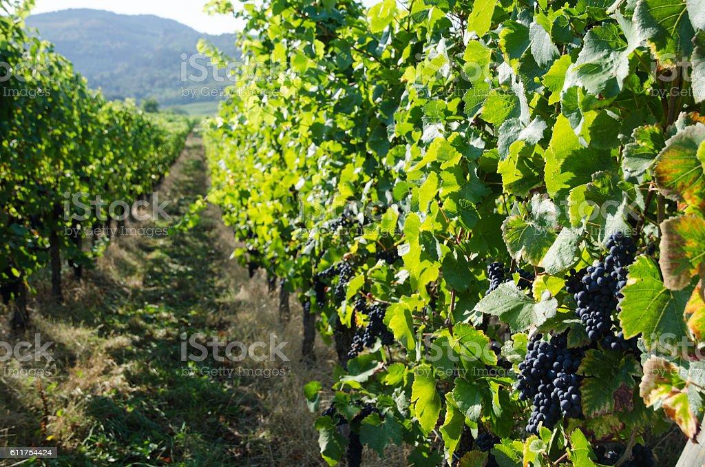 Vineyard in Alsace in France stock photo
