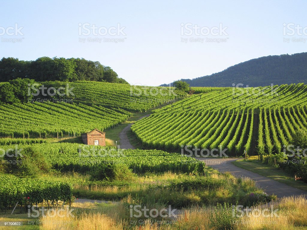 vineyard in Alsace royalty-free stock photo