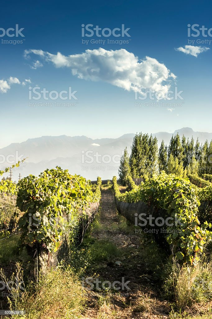 Vineyard in Argentina stock photo
