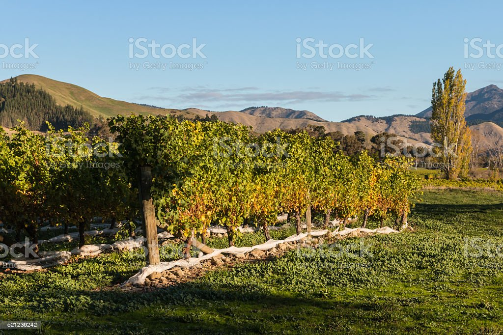 vineyard in autumn colors stock photo