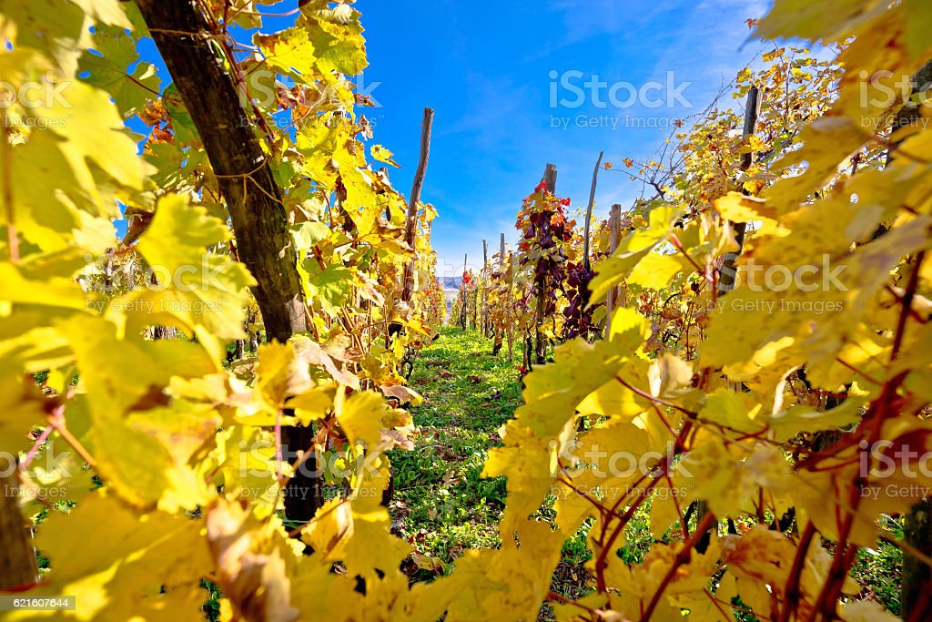 Vineyard in autumn colors view stock photo