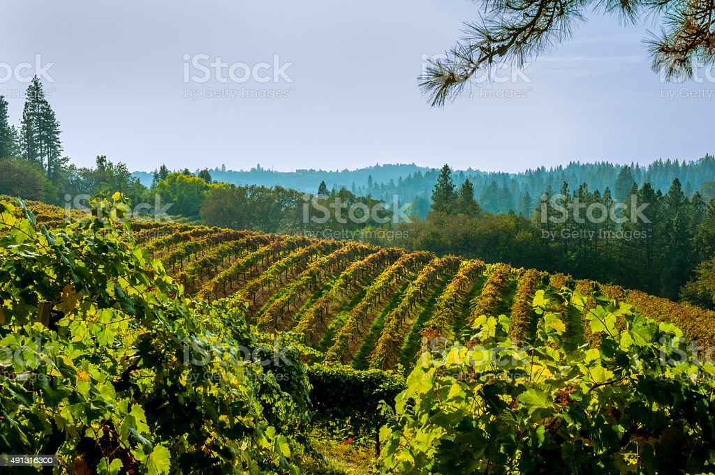 Vineyard in Autumn,  El Dorado County, California stock photo