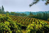 Vineyard in Autumn,  El Dorado County, California