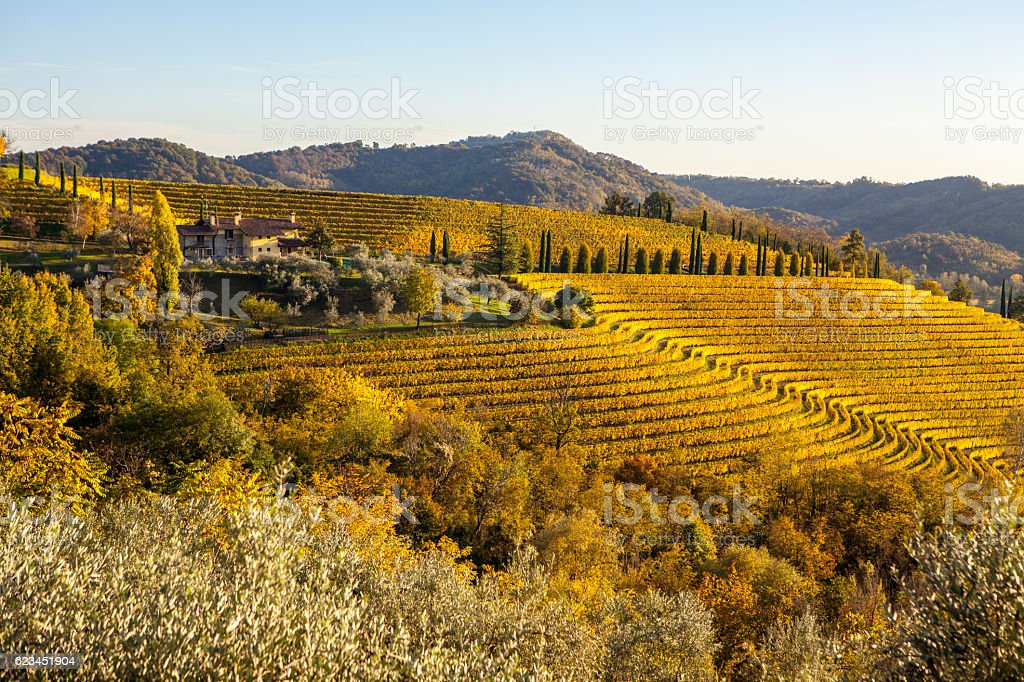 Vineyard in autumn in Collio region, Italy stock photo