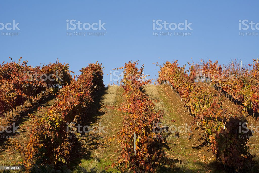 Vineyard in autumn. royalty-free stock photo