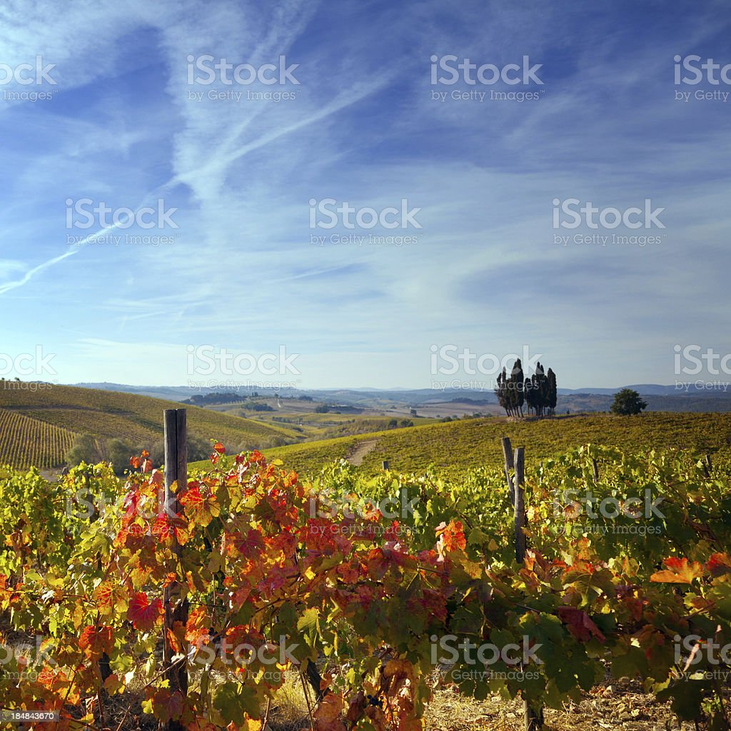 Vineyard in Autumn royalty-free stock photo