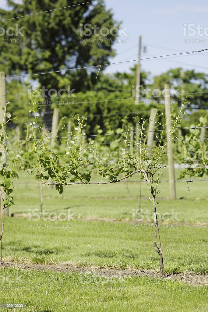 Vineyard in BC, Canada On A Sunny Day royalty-free stock photo