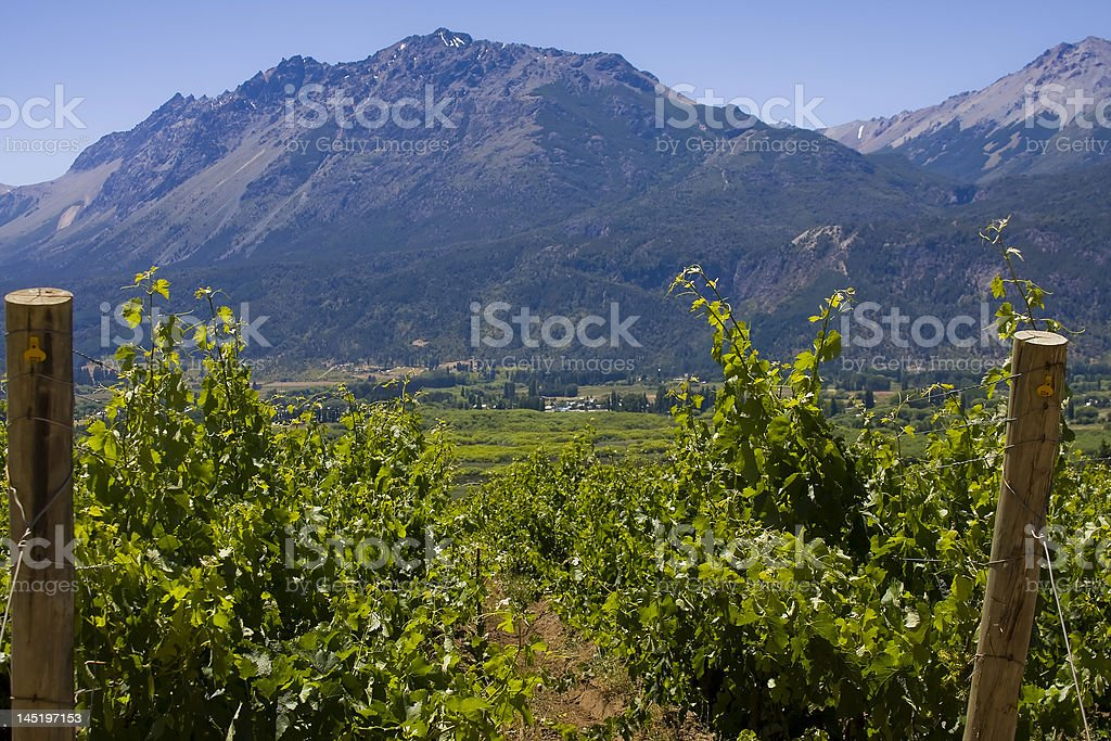 vineyard in Bolson, Argentina (close up) royalty-free stock photo