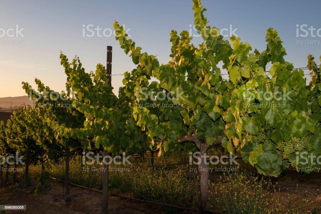 Vineyard in California at sunrise stock photo