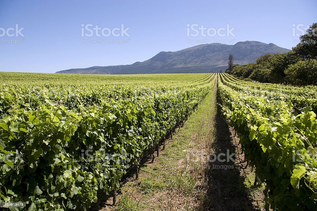 vineyard in capetown stock photo