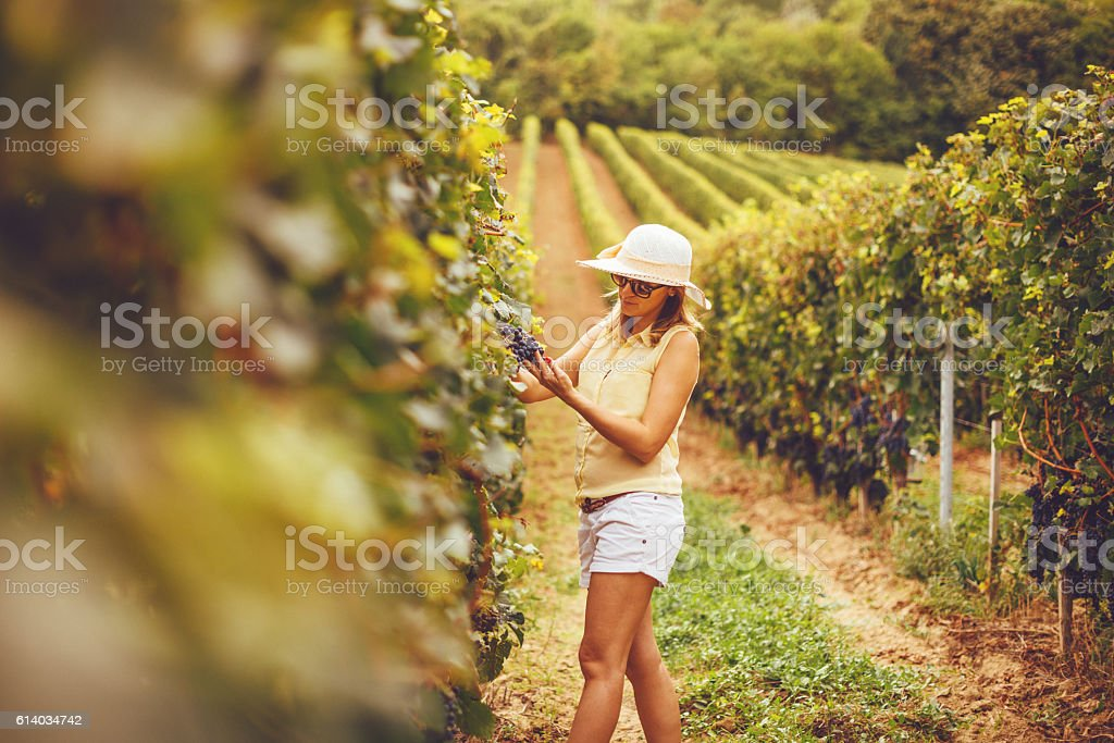 Vineyard in Central Europe stock photo