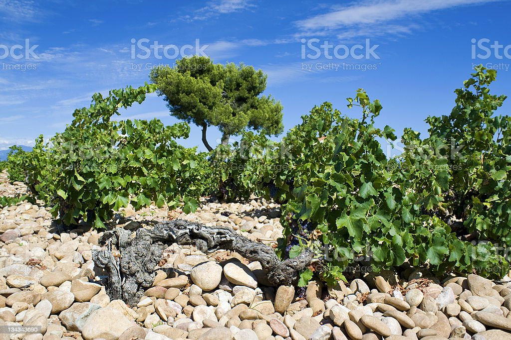 Vineyard, in Chateauneuf-du-Pape. Provence. royalty-free stock photo