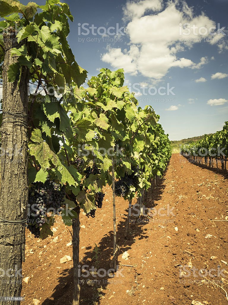 Vineyard in Croazia royalty-free stock photo